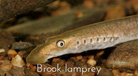 brook_lamprey