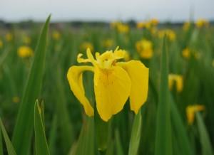 Irises Loughrea Lake