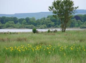 Yellow Irises at Corrys Field