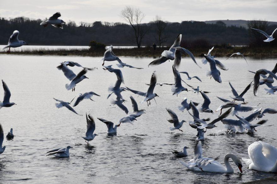 Seagulls Feb 18